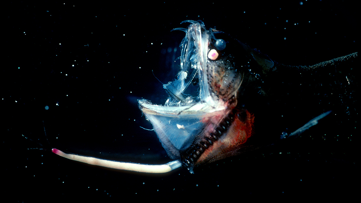 The mesopelagic: Cinderella of the oceans