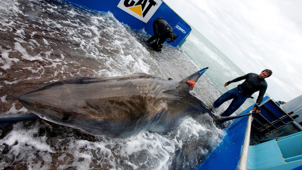 shark onboard small research boat with tags in fin