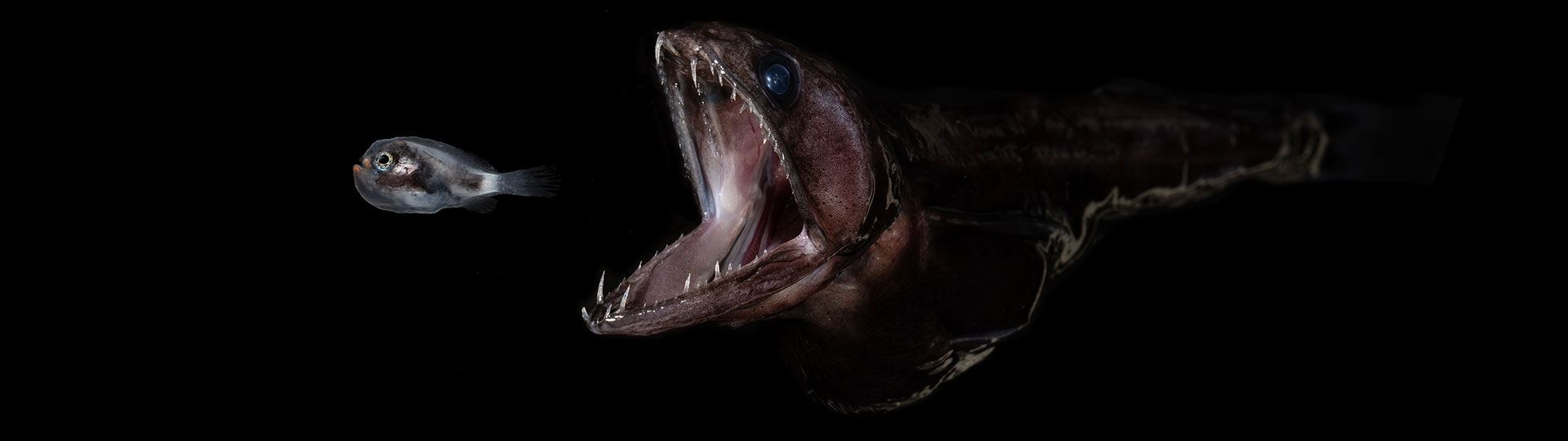 Black swallower and larval anglerfish