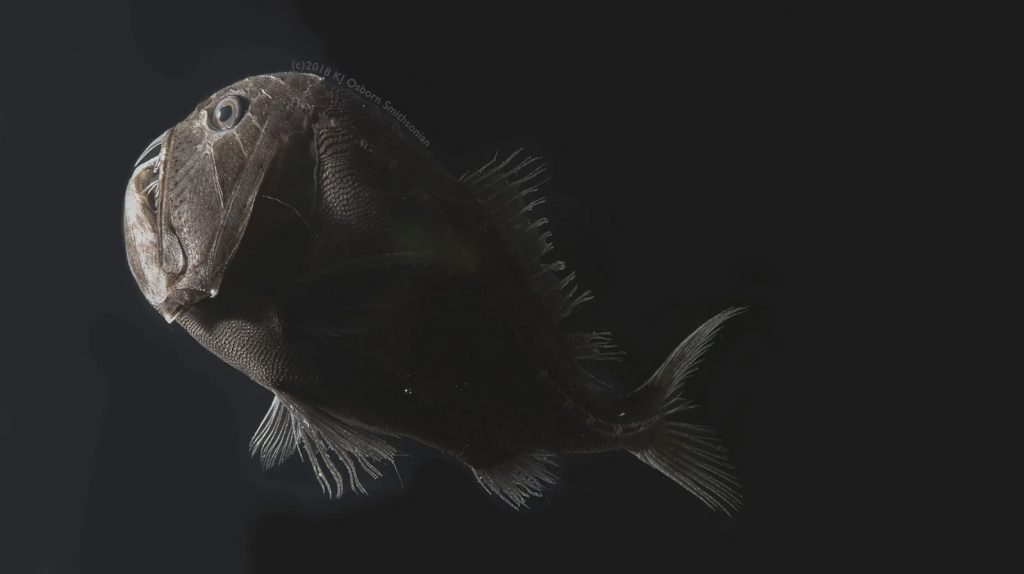 Ultra-black skin helps deep-sea fishes avoid detection