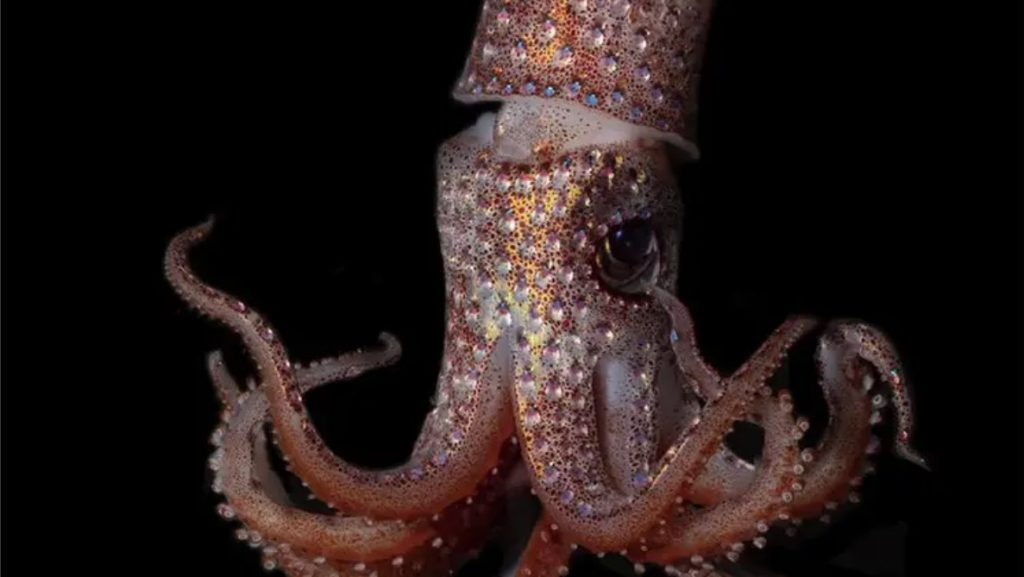 Strawberry Squid (Histioteuthis heteropsis)