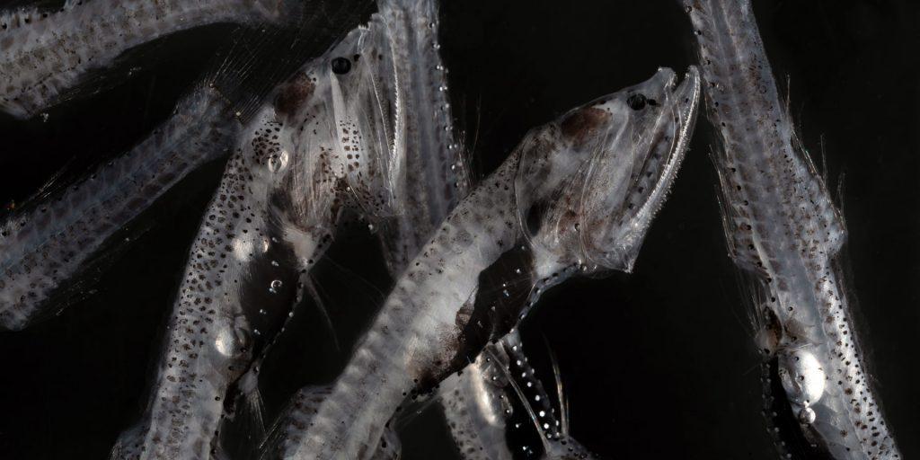 Bristlemouth-(Cyclothone-sp). © Paul Caiger, Woods Hole Oceanographic Institution
