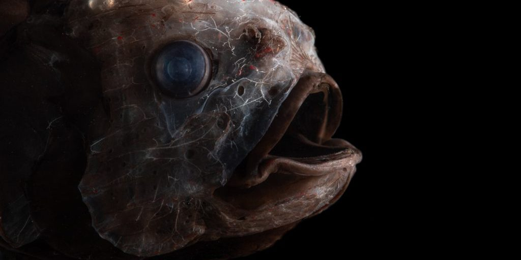 Bean's bigscale (Scopelogadus beanii)(Photo by Paul Caiger © Woods Hole Oceanographic Institution)