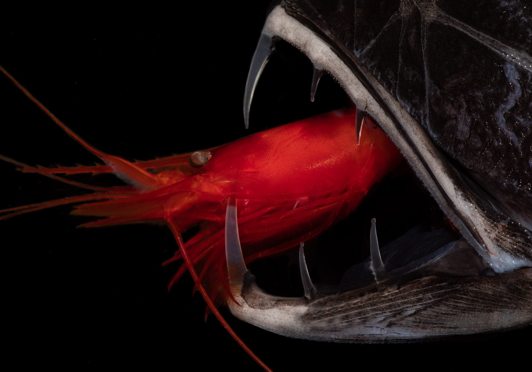 a red krill in the jaws of a fish
