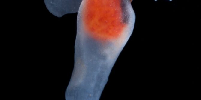 Pteropod or Sea Angel (Clione limacina) with buccal cones extended