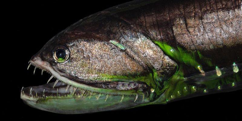 Elongated bristlemouth (Sigmops-elongatus)