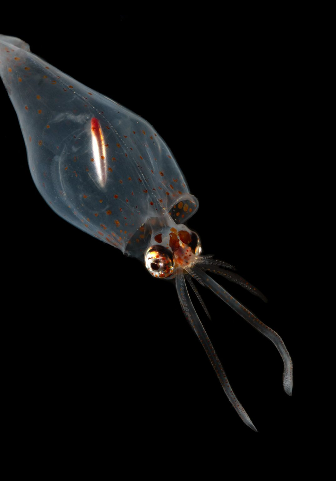 Glass-squid