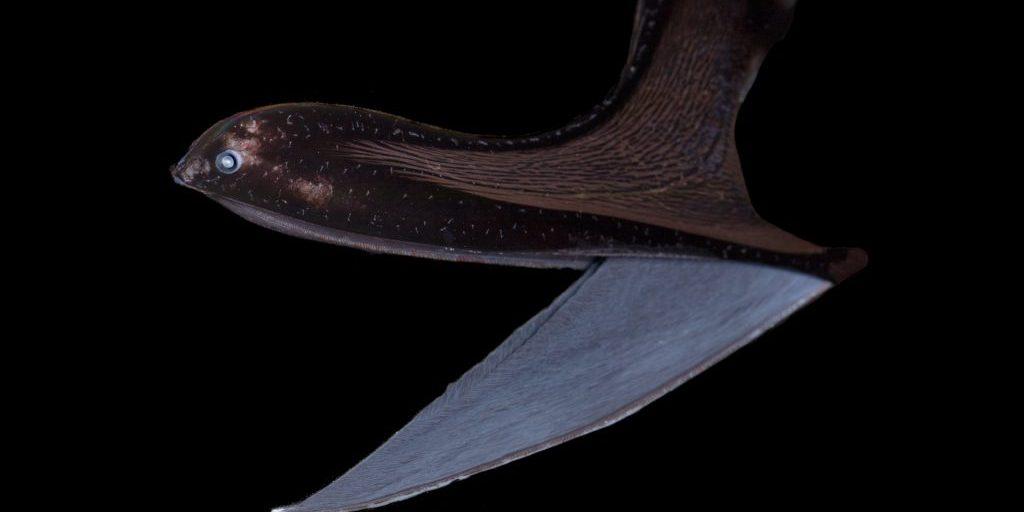 The Gulper eel, (Eurypharynx-pelicanoides)
