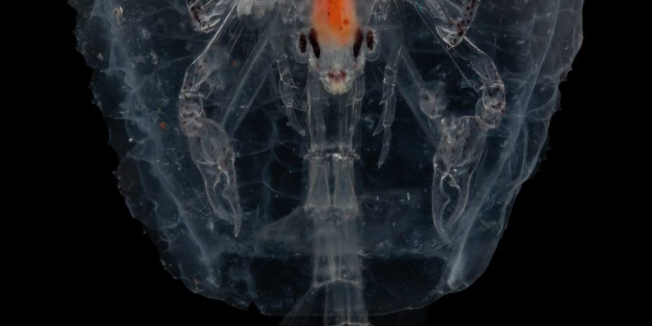 Pram bug (Phronima sp.) climbs inside a salp's hollowed-out body