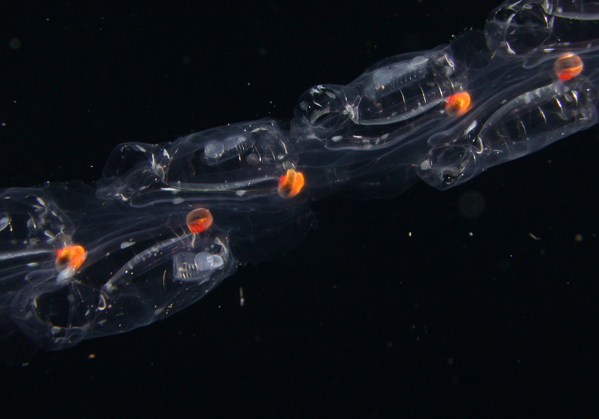 Closeup of long chain of Salp zooids