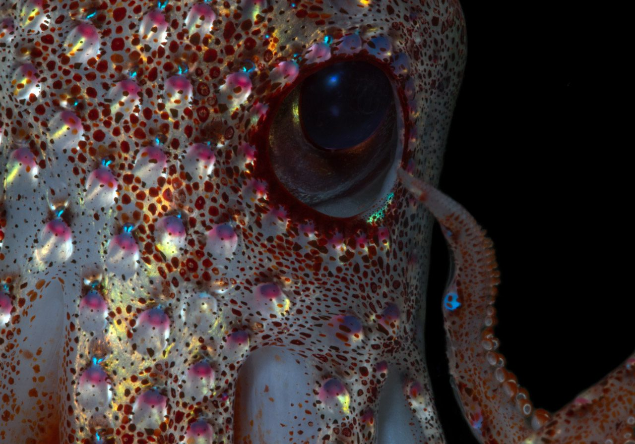 close up of strawberry squid eye