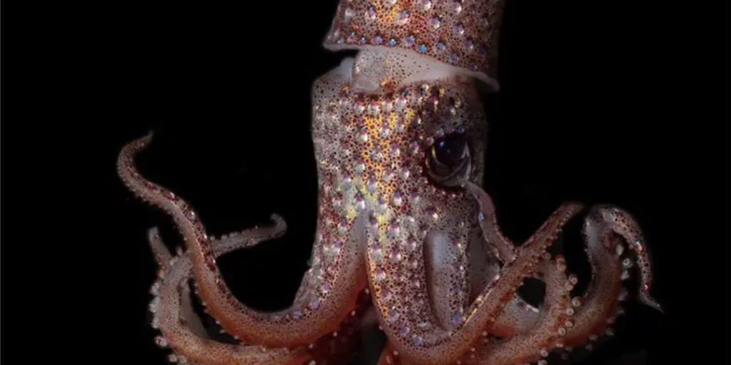 Strawberry Squid (Histioteuthis heteropsis)